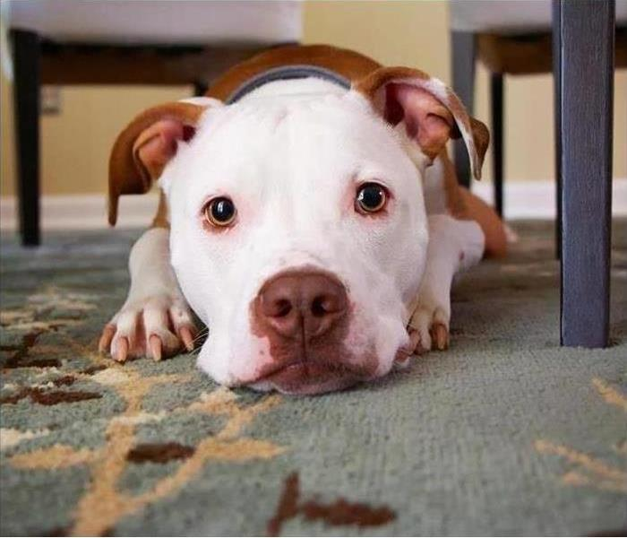 Red and White dog laying on carpet